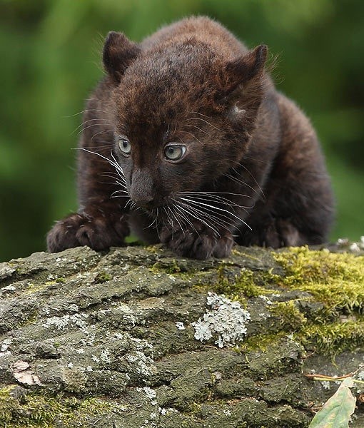 36 Best Black Panther Images On Pinterest Baby Panther