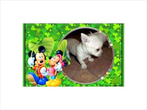 Chihuahua Puppy For sale - $2,500 - Phoenix, Arizona | Chihuahuas ...