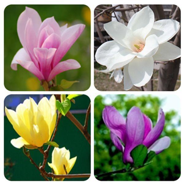 100PCS Saucer Magnolia Magnolia soulangiana Fragrant Flowers Tree Seeds Garden #Unbrand