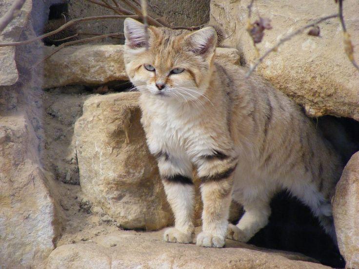 Tipos de gatos salvajes y cómo reconocerlos