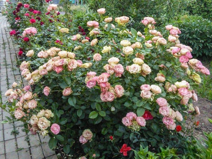 """Акрополис (Флорибунда) -> """"Розы Нью-Джерси"""""""