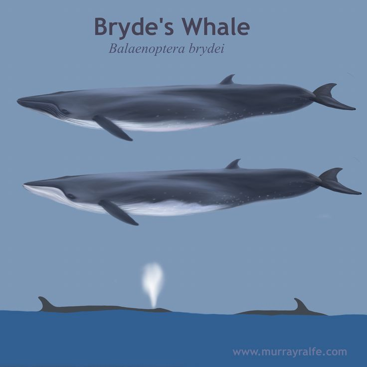 Bryde's Whale identification illustration by Murray Ralfe  www.murrayralfe.com
