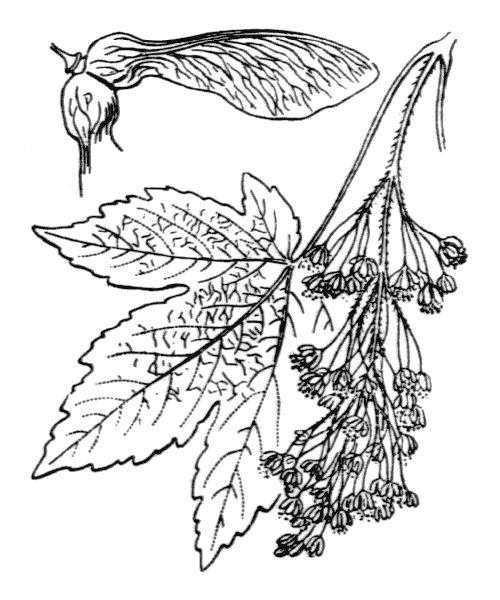 Érable sycomore Acer pseudoplatanus L.  Famille des Sapindaceae Illustration de Coste