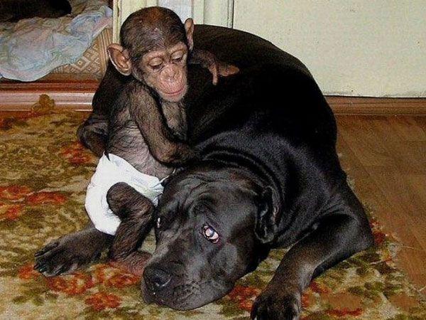 La hermosa historia del bebé chimpancé y su madre adoptiva   La Bioguía