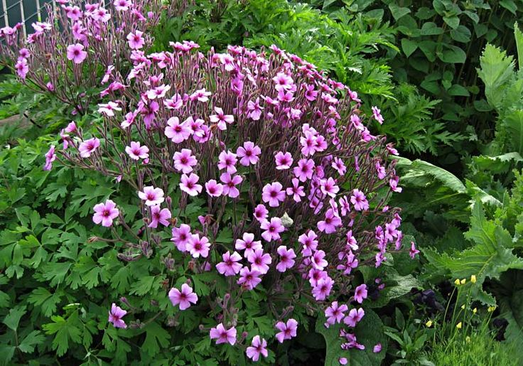 how to grow geranium maderense from seed