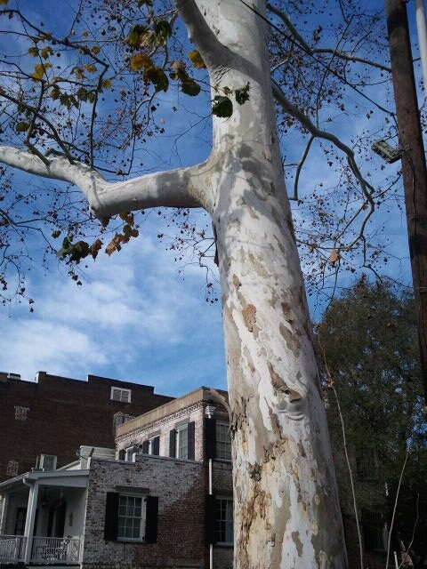 21 Best Images About Sycamore Trees On Pinterest Trees