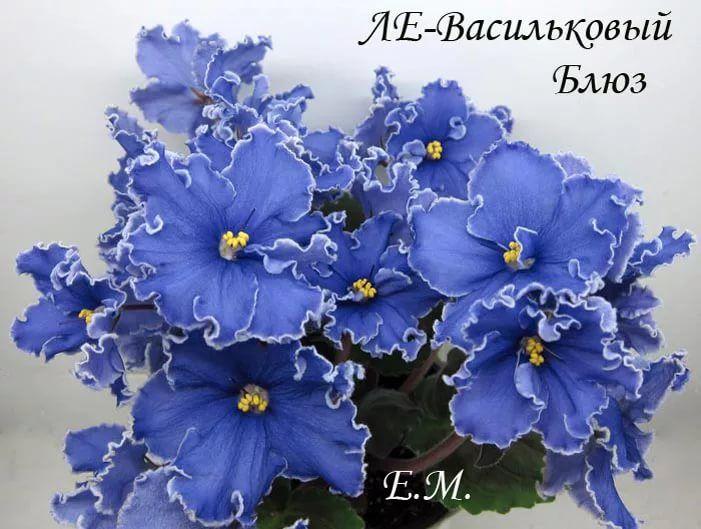 Васильковый букет фиалка фото