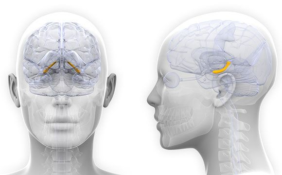 New Research Shows Female Hippocampus Structure Changes in Sync with Hormones  New research from the Max Planck Institute shows that in women, in parallel to the rhythm of the level of estrogen across their menstrual cycle, the structures of the Hippocampus vary — a brain area that is crucial for memories, mood and emotions. Although it has already been known for some time that the brain […]  The post  New Research Shows Female Hippocampus Structure Changes in Sync with Hormones  ap..