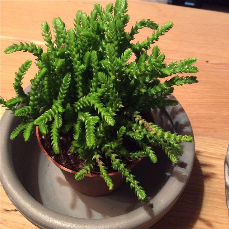 Crassula mucosa, succulent