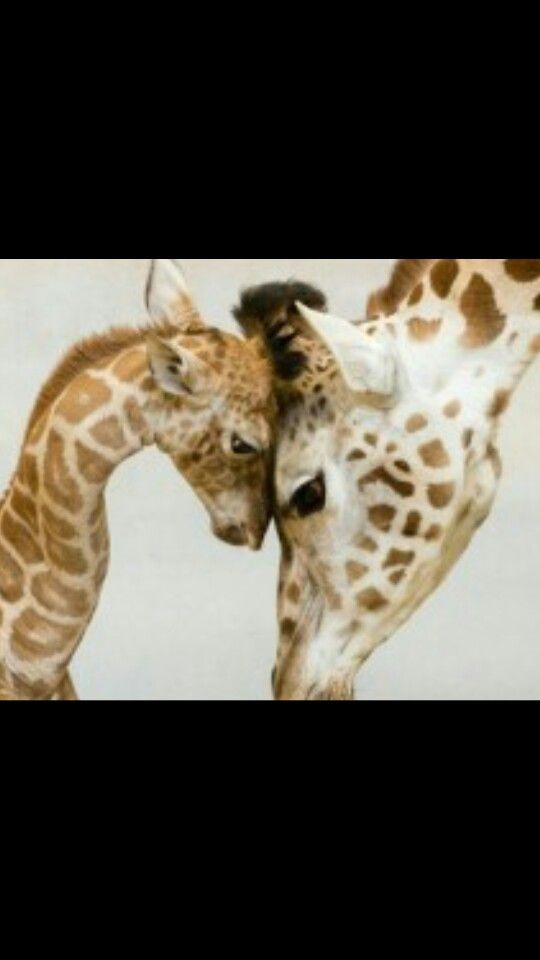 Best Giraffes Images On Pinterest Baby Animals Beautiful And Mom - 22 adorable parenting moments in the animal kingdom
