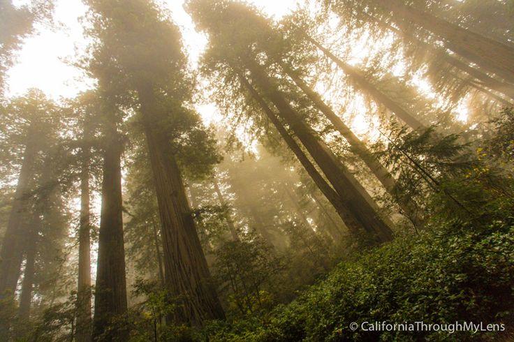 Lady Bird Johnson Grove in Redwoods National Park via @cathroughmylens