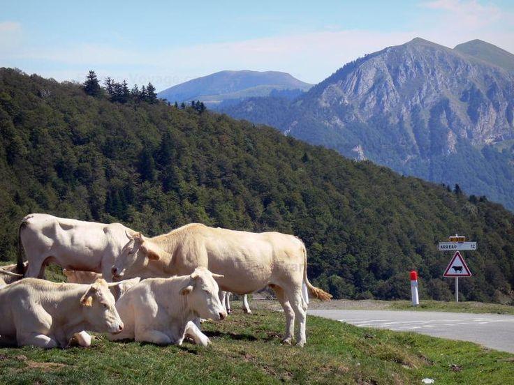 Col d'Aspin: Au col, vaches se reposant au bord de la route, panneau de…