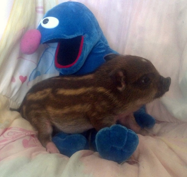 25 best ideas about baby piglets on pinterest baby