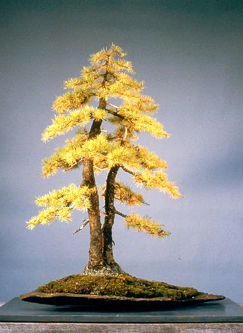 Bonsai Inspiration! These Inspire Me, Anyone Else? - HelpfulGardener.com YES! ctc...this is probably a Tamarack...hard to see without close up.