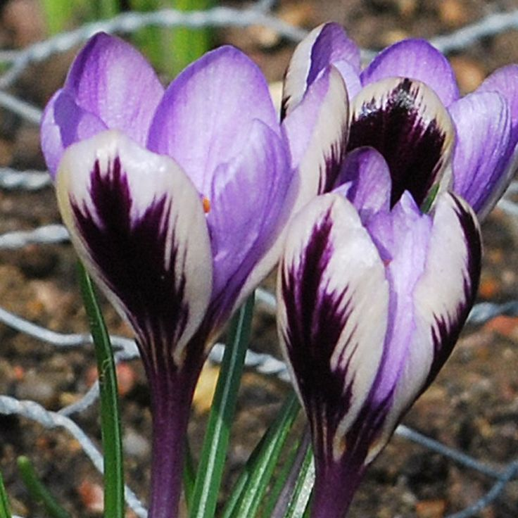 Crocus 'Spring Beauty' - Rose Cottage Plants