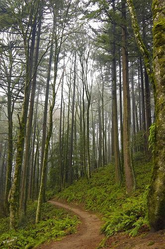 The Wildwood Trail heading off into the trees in Forest Park - Portland, Oregon