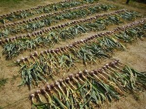 Conseils pour conserver ail, oignons et échalotes dans de bonnes conditions. Durées de conservation, séchage, stockage.