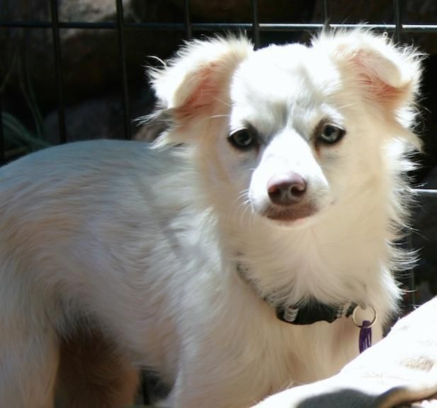 Meet Lilly, a Petfinder adoptable Chihuahua Dog   Penngrove, CA   Flower girls Rose, Lilly, Violet, Daisy, Pansy and Poppy. Six little arctic fox look alikes.  Poppy...
