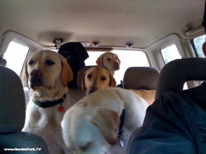 New England Labrador Rescue .... looks like Lexi on the left! :)
