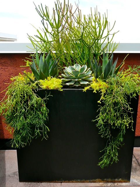 This clean lined, metal container was screaming for some texture. Using a combination of agaves and assorted succulents.