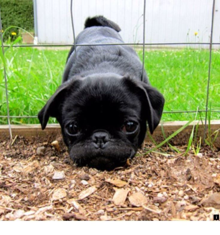 Learn More About Cheap Pugs For Sale Near Me Just Click On The
