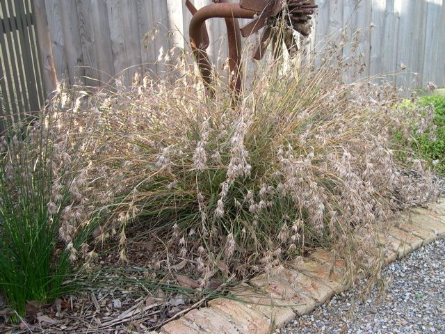 Themeda triandra - Kangaroo grass. Wide-spread grass of the eucalypt forest; fine foliage; spikes of coppery seed heads in summer