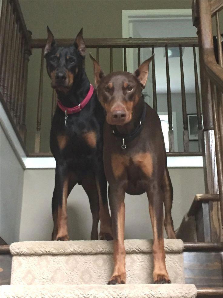 Doberman Pinscher Loyal And Fearless Doberman Pinscher Puppy