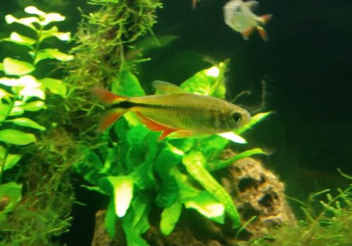 Buenos Aires Tetra Hyphessobrycon Anisitsi With Images Fish Tank Fish Pet Pets