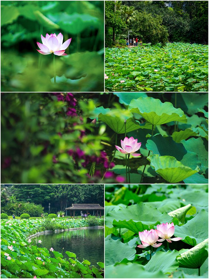 The emerald lotus leaves reach as far as where water and skies meet,and lotus blossoms bathing in sunshine exhibit a distinctive dazzling pink. June,is the best time to enjoy the sight of lotus in Guangzhou.