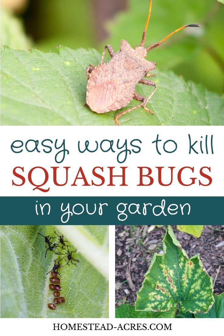 How to get rid of squash bugs squash bugs backyard