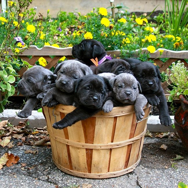 The nose wrinkles put this over the edge.  Cane Corso puppies