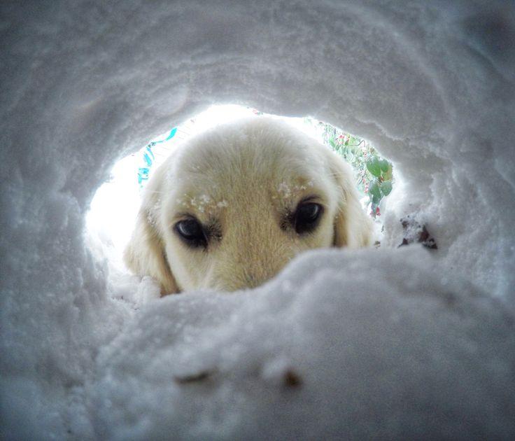 GoPro dog, golden retriever, snow, hole