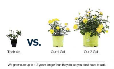 Sunny Knockout Rose Bush for Sale - Brighter Blooms Nursery