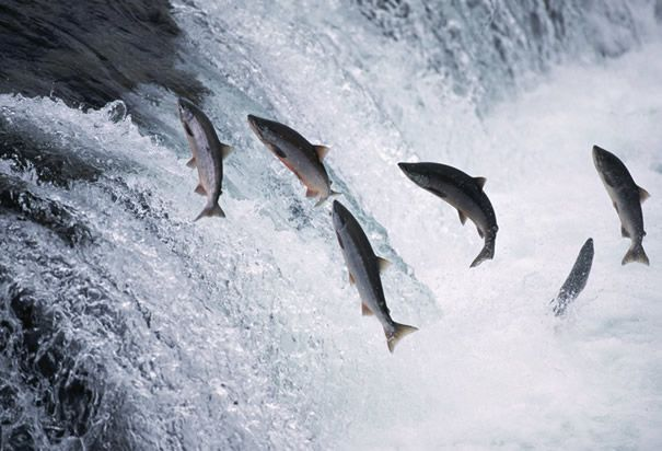 Atlantic salmon jumping the falls.  Big Falls, Humber River NL.  My dad used to take us there when we were kids.