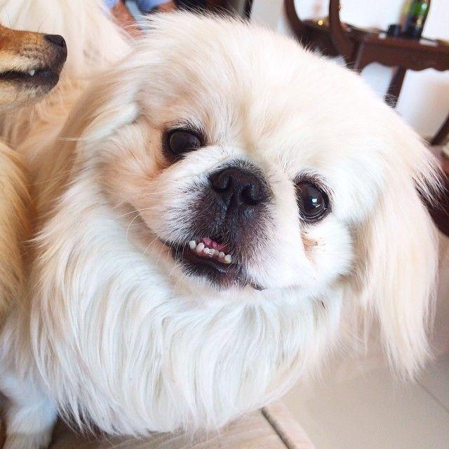"""""""Ay ay ay ay tsunito precioso shiquito bello, que guapo eshtash ☺️ #pekignese #chinadog #whity #perrito #bello #pequines #tsunami #guapo #new #now…"""""""