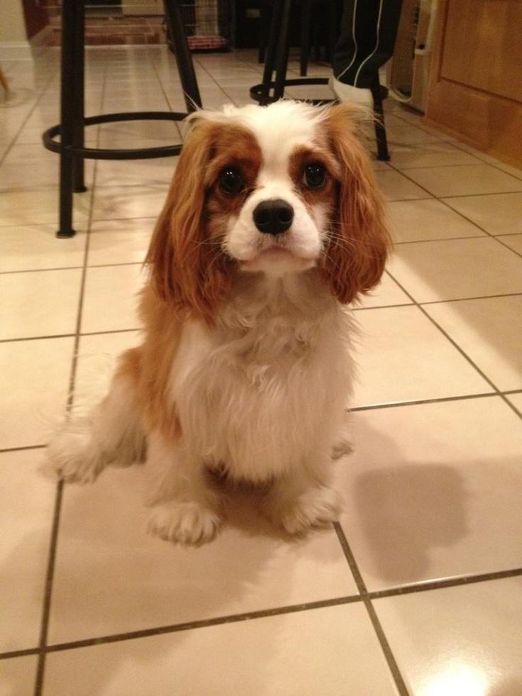 cavalier king charles spaniel- Lexi! love my dog