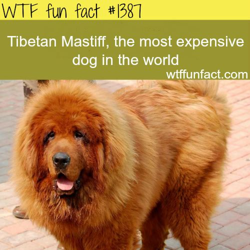 Most expensive dog in the world - animals fact Generally, this breed is not the most expensive in the world. The German shepherd is considered the most expensive (GENERALLY) but this was sold 2 years ago, in March 2011. He was purchased by a Chinese...