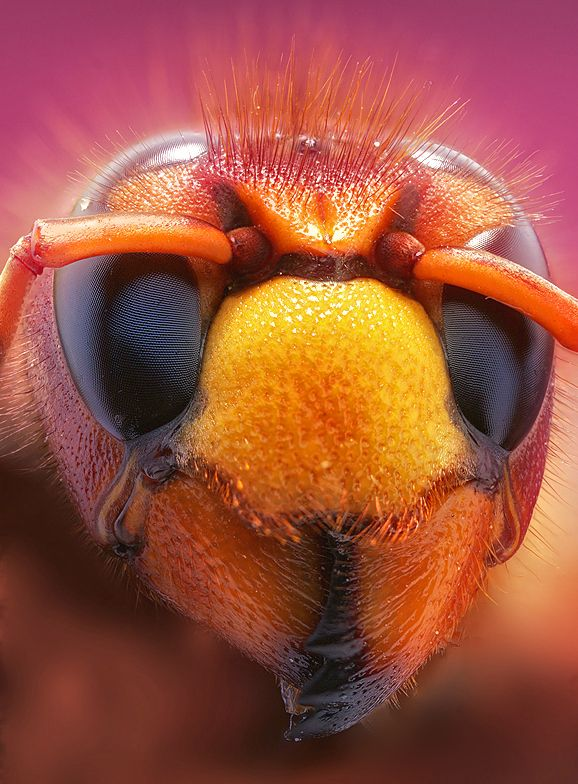 "Vespa crabro (European Hornet) by Leon Baas ~ The European hornet Vespa crabro, commonly known simply as the ""hornet,"" or ""bell hornet"" in the mid-Atlantic region of the United States, is the largest European eusocial wasp. The queen measures 25 to 50 mm (1–2 in) long; males and workers are smaller."