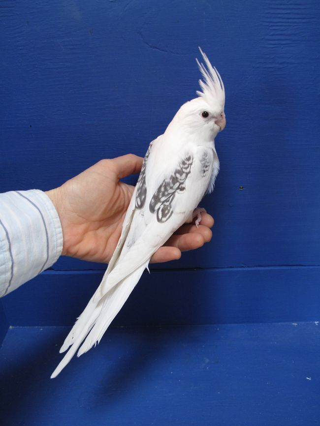 This particular bird is a Whiteface Pearl/Pied. Lutino cockatiels are mostly yellow or white with bright orange cheeks and red eyes.