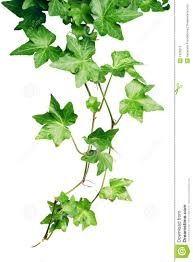 Klimop De klimop is het symbool van het eeuwige leven vanwege z'n altijd groene bladeren. Ook is het het symbool van de eeuwige vriendschap. De klimop houdt de herinnering vast, daarom wordt ze ook veel als grafbeplanting gebruikt.