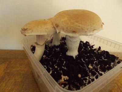 Ecolo-bio-nature: Cultiver des champignons dans sa cuisine