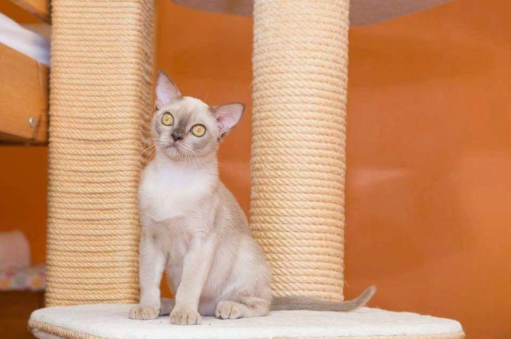 HU*Alba Regia Bogyo of Silky Sense Cattery - Burmese Cat - Choco Girl <3