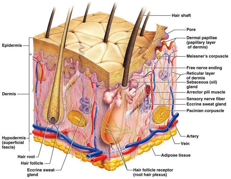 The integumentary system is part of the huan body system!