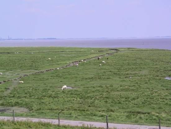 Zeekleilandschap met een kwelder. Hier grazen de koeien in de wei op de klei.