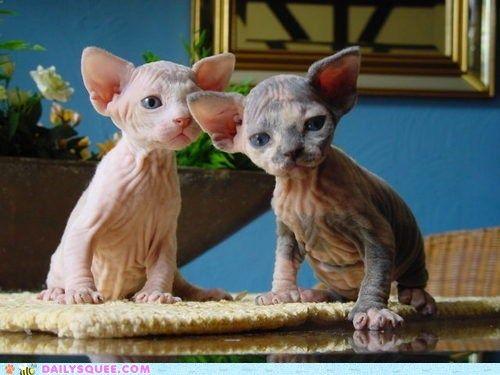 les enfants de Yoda ?!?... non : des chatons sphinx !...
