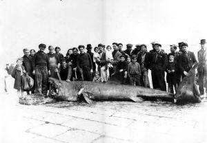 Mimoria isula /calvi 1946– Requins de Méditerranée