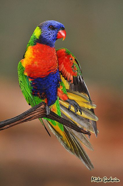 "See why they call it a ""rainbow lorikeet?"""