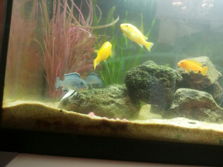 My Cichlids!