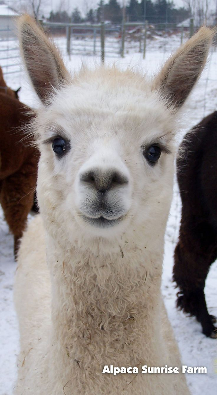HUACAYA CRIA. Alpaca Sunrise Farm is a full-service Alpaca farm since 1998 • Alpaca sales • breeding • boarding • Alpaca raw fiber, yarn, roving sales for knitters, crocheters, weavers and fiber artists. www.AlpacaSunrise.com #alpaca #alpacas