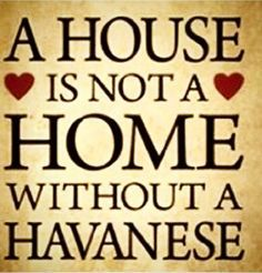 """""""A House is not a Home without a #Havanese""""   #RoyalFlushHavanese #RFH #RFHRI #RFHFL #Havanese_Feature"""
